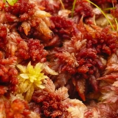 A A Sphagnum fimbriatum moss individual enjoying the company of a Sphagnum magellanicum colony