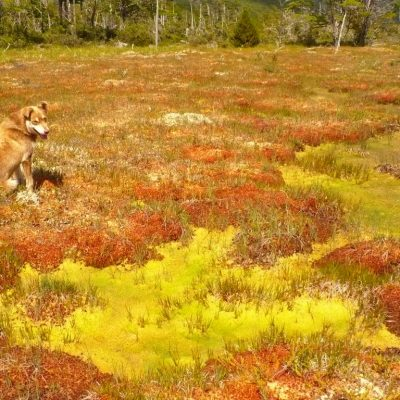 Payador observing some spots of Sphagnum fimbriatum surrounded by Sphagnum magellanicum in a raised bog of Lago Vargas-Region of Aysén
