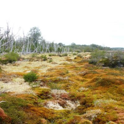 Vegetation ecological gradient from forest to hummocks in a mire of Isla Navarino-Region of Magallanes