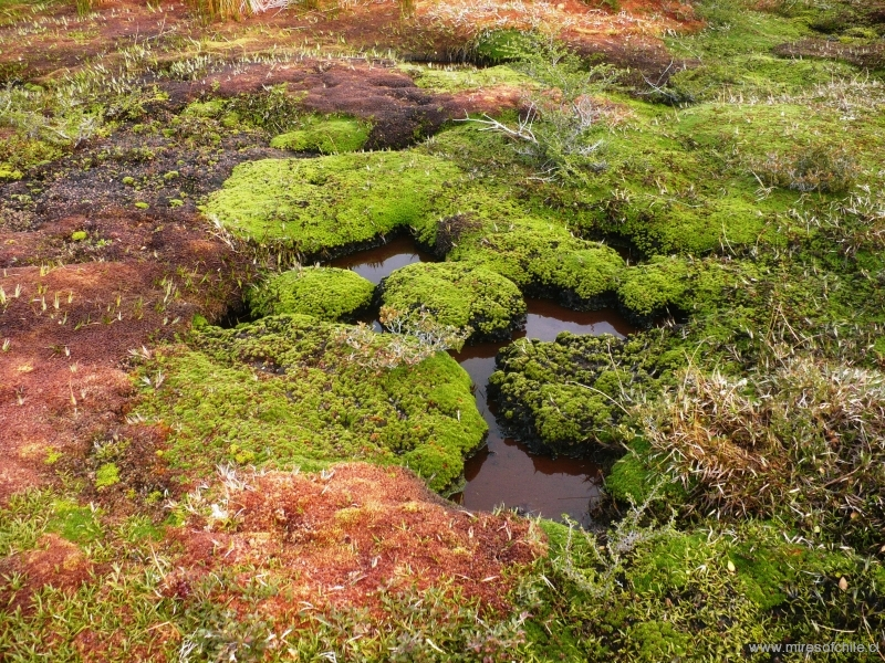 Mixed vegetation muster of cushion plants and Sphagnum mosses growing all along a stream in a flow-through bog at the low  basin of the River Pascua-Region of Aysén
